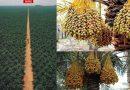 Ferma më e madhe e Hurmave arabe në botë